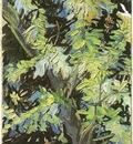 Blossoming Acacia Branches