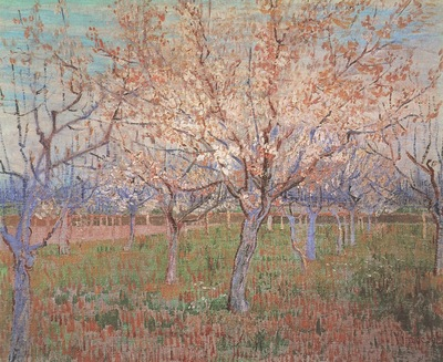 orchard with apricot in bloom, arles