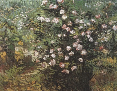 rosebush in bloom, arles