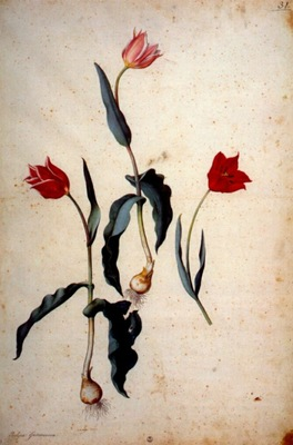ligozzi 3 tulip varieties between 1577 and