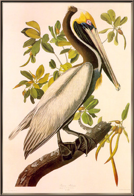 Audubon Brown Pelican sj