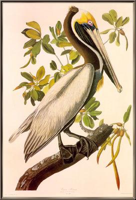 Audubon Brown Pelican sj