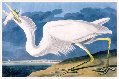 Audubon Great White Heron sj