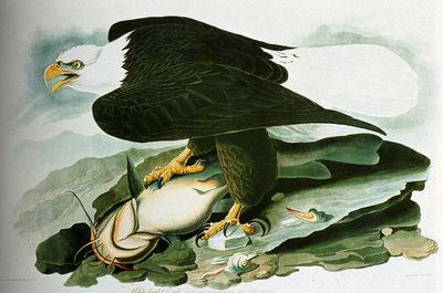 Audubon John James The Bald Headed Engle From Birds Of America