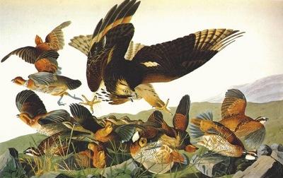 audubon bobwhite virginia partridge
