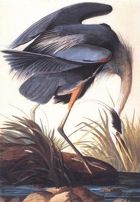 bs ahp John Audubon Great Blue Heron