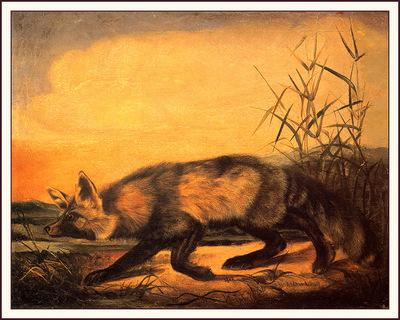 bs na Audubon Jackal Fox