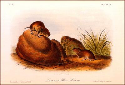 bs na Audubon Le Contes Pine Mouse