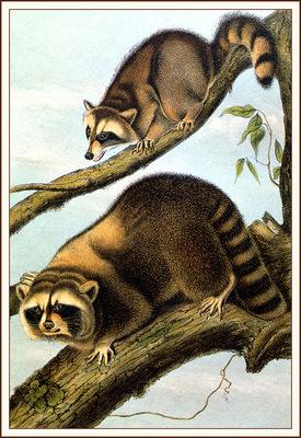 bs na Audubon Racoon