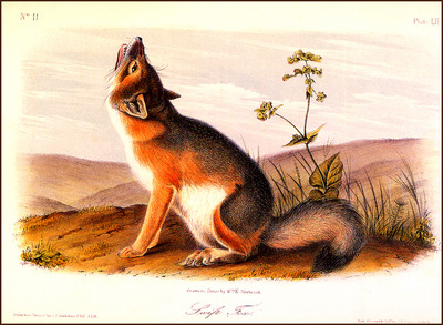 bs na Audubon Swift Fox