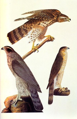 jja 0004 Goshawk and Coopers Hawk 1810 sqs
