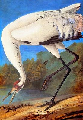 jja 0005 Whooping Crane late 1821 sqs
