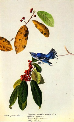 jja 0007 Cerulean Warbler 1822 Louisiana or Mississippi sqs