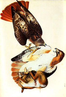jja 0011 Red Tailed Hawk Painted in Louisiana in 1821 and later reworked sqs