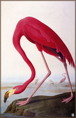 ma Audubon American Flamingo