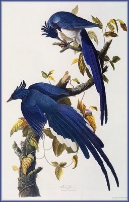 ma Audubon Jays