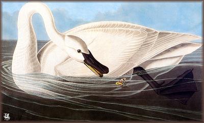 ma Audubon Trumpeter Swan