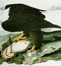 Audubon John James The Bald Headed Engle From Birds Of America