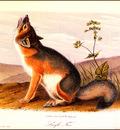 bs na Audubon Swift Fox
