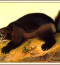 bs na Audubon Wolverine