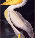 ma Audubon American White Pelican