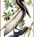ma Audubon Brown Pelican