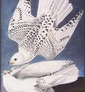 ma Audubon Falcon