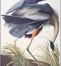 ma Audubon Great Blue Heron