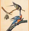 ma Audubon Passenger Pigeon