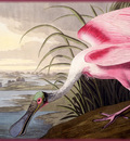 ma Audubon Rosate Spoonbill