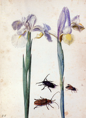 Flegel Georg Two irisses two bugs and a fly Sun