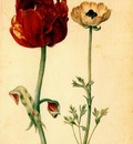 flegel tulip and white poppy 1627