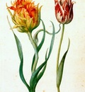 flegel two tulips 1627