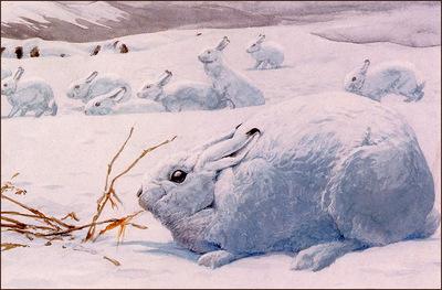 bs na Louis Agassiz Fuertes Arctic Hare