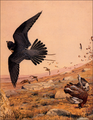 bs na Louis Agassiz Fuertes Tiercel Gentle A Hit On Grouse