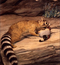 bs na Louis Agassiz Fuertes Ring Tailed Cat