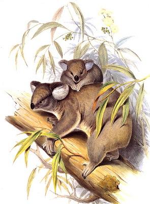 lrs Gould J Koala