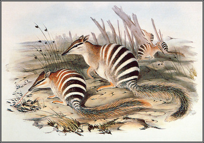 pa AVM end 08 Gould Numbat