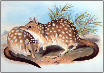 pa AVM end 12 Gould WesternQuoll
