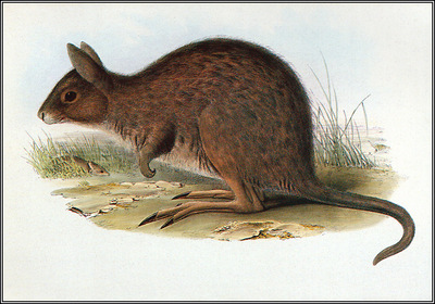 pa AVM ext 03 Gould EasternHare Wallaby