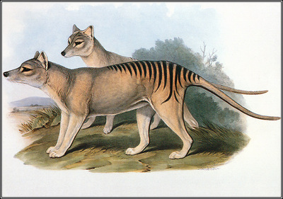pa AVM ext 07 Gould Thylacine