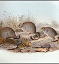 pa AVM end 04 Gould Brush TailedBettong