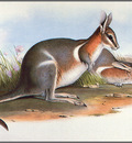 pa AVM ext 01 Gould CrescentNail TailWallaby