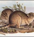 pa AVM ext 02 Gould DesertRat Kangaroo