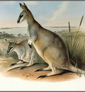 pa AVM ext 08 Gould ToolacheWallaby