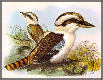 Keulemans Kookaburra sj
