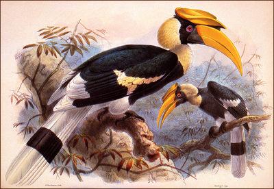 bs na J G Keulemans Great Hornbill