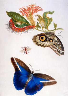 Merian Maria Sibylla Butterfly Sun