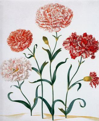 Merian Maria Sibylla Carnation Sun