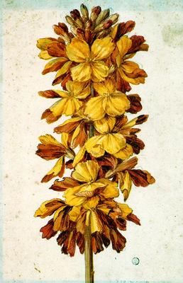 Merian Maria Sibylla Flowers 33 Sun